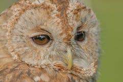 Birds of Prey - Tawny Owl - Strix Aluco. Close up portrait of a Tawny Owl (Strix Aluco royalty free stock images