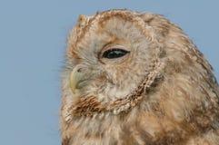 Birds of Prey - Tawny Owl - Strix Aluco Stock Photos