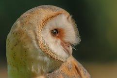 Birds of Prey - Western Barn Owl - Tyto Alba. Close up portrait of a Western Barn Owl (Tyto Alba Stock Photos