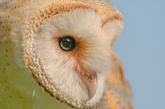 Birds of Prey - Western Barn Owl - Tyto Alba. Close up portrait of a Western Barn Owl (Tyto Alba Royalty Free Stock Photography