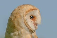 Birds of Prey - Western Barn Owl - Tyto Alba. Close up portrait of a Western Barn Owl (Tyto Alba Stock Image