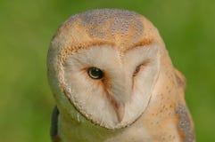 Birds of Prey - Western Barn Owl - Tyto Alba. Close up portrait of a Western Barn Owl (Tyto Alba Stock Images
