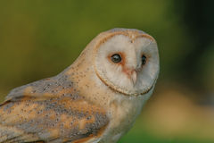 Birds of Prey - Western Barn Owl - Tyto Alba Royalty Free Stock Images