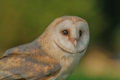 Birds of Prey - Western Barn Owl - Tyto Alba. Close up portrait of a Western Barn Owl (Tyto Alba Royalty Free Stock Images