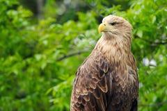 Birds of prey - White-tailed Eagle Haliaeetus albicilla. Portrait Royalty Free Stock Photos