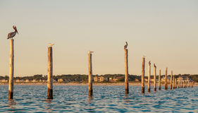 Birds on Pylons. Seagulls and Pelicans sitting on Fishing Net pylons in the Chesapeake Bay at Sunrise Stock Images