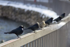 Birds on railing Royalty Free Stock Images