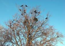 Birds Ravens seated on a tree Royalty Free Stock Photo
