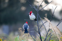 Birds (red-crested cardinal) on the branch Royalty Free Stock Photos