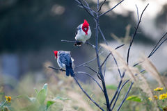 Birds (red-crested cardinal) on the branch Royalty Free Stock Photo