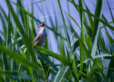 Birds in the reeds Royalty Free Stock Image