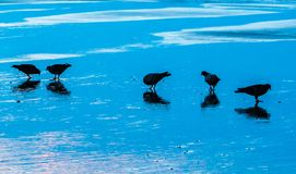 Birds reflecting on the beach. Birds on the beach in the morning sun with their reflections Stock Photo