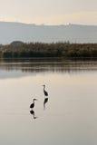 Birds reflection. Reflection of cranes at lake Ahula, Israel Stock Photos