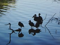 Birds and reflections Stock Photos