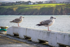 Birds relaxing at the coastline in Douglas, Isle of Man. Couple of birds relaxing at the pier on coastline in Douglas, Isle of Man Royalty Free Stock Photography