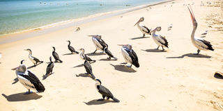 Birds resting on the beach. Pelicans and other birds resting on the beach during the day at Tangalooma Island in Queensland on the west side of Moreton Island Stock Images