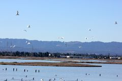 Birds resting and in flight in Ravenswood Ponds, south of the Dumbarton Bridge and adjacent to San Francisco Bay, Menlo Park stock image