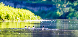Birds in river. Birds ducks in river, green grass Royalty Free Stock Photography
