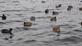 Birds on a river with little waves stock footage
