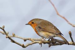 BIRDS - Robin / Rudzik raszka Stock Image