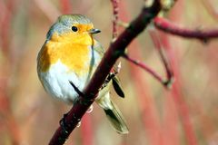 BIRDS - Robin / Rudzik raszka Stock Photo