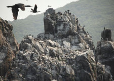 Birds on the rocks. Nesting place of seabirds on the coast of the Pacific Stock Images