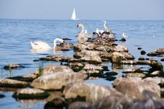 Birds on the rocks. Swans, seagulls and other birds chilling on the rocks Stock Photos