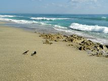 Birds on a Rocky Florida Beach Royalty Free Stock Photos