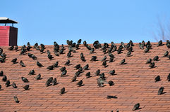 Birds on the roof Stock Photography