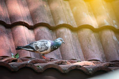 Birds on the roof. Birds on the roof daylight Royalty Free Stock Photo