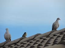 Birds on the roof Royalty Free Stock Image