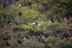Birds roosting in trees in Keoladeo Ghana National Park, Bharatp Stock Image