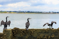 3 birds in a row. Facing same direction Royalty Free Stock Image
