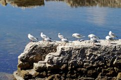 Birds in row. Several seagulls standing in row on a rock over mediterranean sea Stock Photography