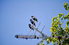 Birds in a Row. Three birds sitting on a TV antenna stock image
