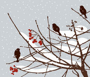 Birds on the rowan branch in the winter Stock Image