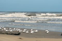 Free Birds Royal Tern And Sandwich Tern On The Coast Of Texas, The Gu Stock Image - 115103731