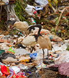 Birds at rubbish dump. Birds scavenging for food through dumped domestic rubbish and discarded plastic bags Stock Image