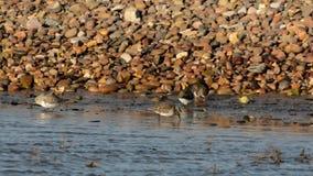 Ruddy Turnstone, Turnstone, Arenaria interpres. Birds - Ruddy Turnstone, Turnstone, Arenaria interpres stock video footage