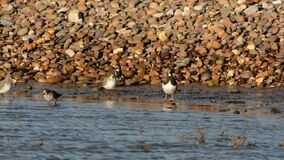 Ruddy Turnstone, Turnstone, Arenaria interpres. Birds - Ruddy Turnstone, Turnstone, Arenaria interpres stock footage