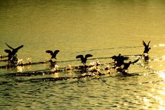 Birds running. Beautiful birds run away on the water in wonderful hour of sunrise Royalty Free Stock Images