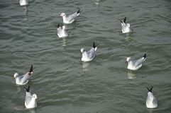 Gulls in water stock photography