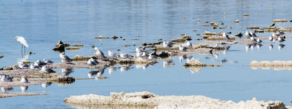Birds in the Salton Sea Royalty Free Stock Images