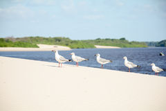 Birds on a sand dune. A few birds standing on a sand dune by the parnaiba river delta in Piaui Brazil royalty free stock image