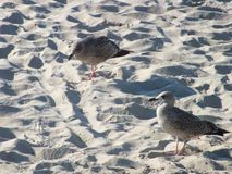 Birds on sand. Sea birds on beach sand royalty free stock photos