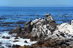 Birds  on the savage beach and rocks in betty's bay - Hermanus Royalty Free Stock Images