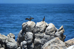 Birds  on the savage beach and rocks in betty's bay - Hermanus Royalty Free Stock Photos