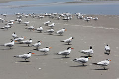 Birds. Sea birds on Atlantic coast of Florida Royalty Free Stock Image