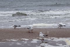 Birds on the sea. Seagulls on the sand, at the beach royalty free stock images