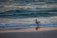 Birds at the sea. In the wild Royalty Free Stock Photography